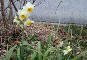 冬の花・スイセン
