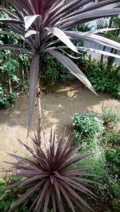 庭のドラセナ
