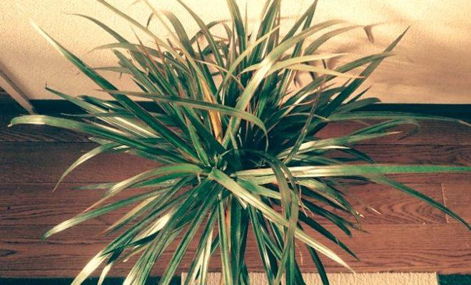 観葉植物 ドラセナ