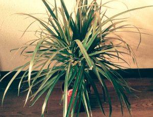 ドラセナ 観葉植物