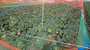 冬のキャベツ畑