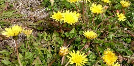春の花のタンポポ