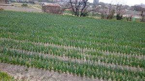 新玉ねぎの畑