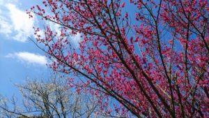 金熊寺梅林2018年のピンクの梅