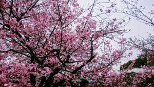 桃色の桜(岸和田城)