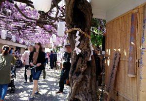 梶本家の藤の御神木
