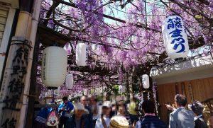 梶本さんちの野田藤・藤祭り