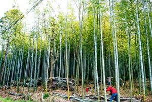 タケノコ山の竹林