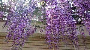 信達宿の藤のアップ写真