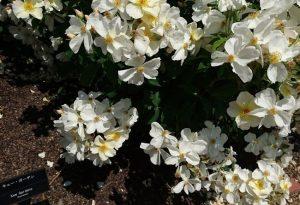 バラの名前はキュー・ガーデン