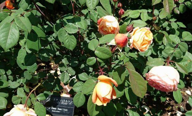バラの名前はレディ・エマ・ハミルトン