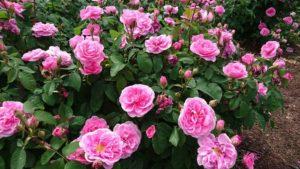 花咲きファームのバラ