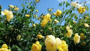 泉南市のバラ園・黄色のばら