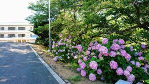 長慶寺・駐車場前のアジサイ