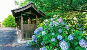 長慶寺・駐車場前の紫陽花