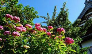 長慶寺の濃いピンク色の紫陽花