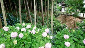 泉南市の長慶寺の紫陽花