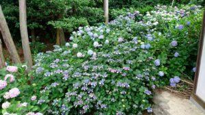 長慶寺の額紫陽花