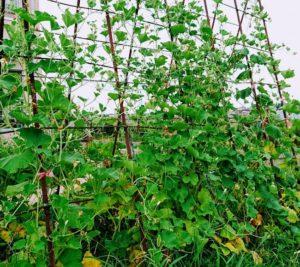 ヒョウタンの緑のカーテン