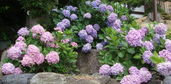 青や赤色の紫陽花の色