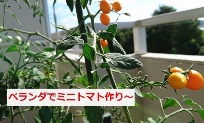 ベランダでミニトマト作り
