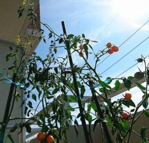 ベランダの収穫できるトマト