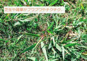芝生と雑草
