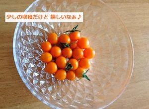 収穫したベランダのミニトマト