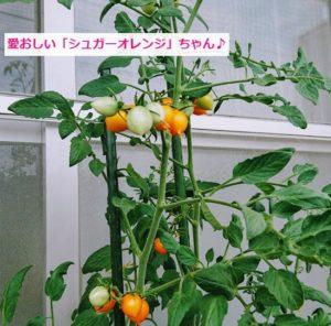 ベランダでミニトマト栽培