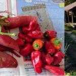 秋のイベントの芋掘りとピーマン