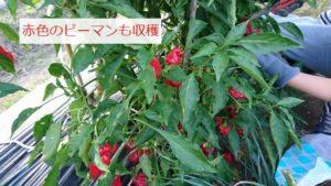 赤ピーマンの収穫