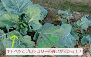 キャベツとブロッコリーの苗