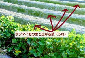 野菜畑の畝(うね)