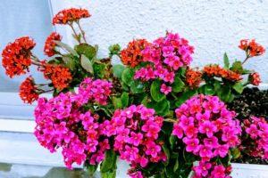 ベランダの赤い花