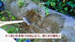 サツマイモ畑のさつまいも掘り