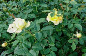 泉南ローズガーデンの薔薇