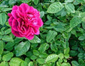 泉南ローズガーデンの赤いバラ