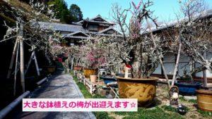 盆梅がたくさん展示
