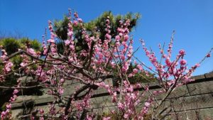 かわいい梅の花