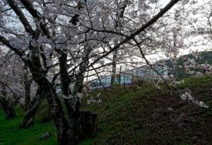 阪和線の山中渓の桜