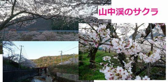 大阪・阪南市の山中渓の桜