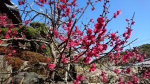 濃いピンク色の梅の花