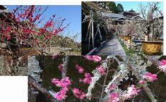 盆梅展の梅