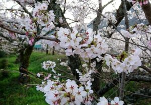 山中渓の花見