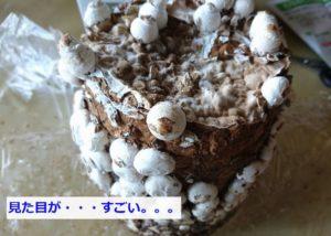 キノコ栽培キット