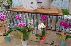 1鉢が安い胡蝶蘭