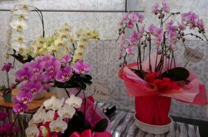 黄色やピンク色の胡蝶蘭