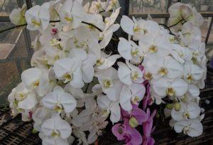 高級花の胡蝶蘭