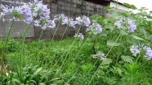 丈夫な紫君子蘭